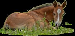 chestnut colt foal lying in grass