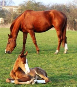 What a Feel broodmare with foal lying in front
