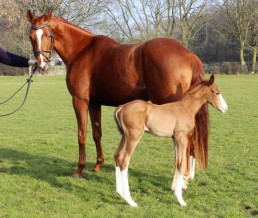 What a Feeling broodmare with foal at foot