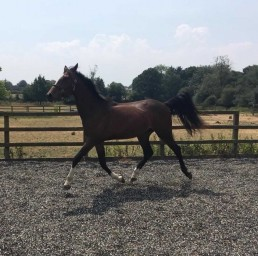 Felicify 2016 filly for sale in arena