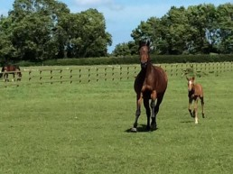 St Pr Mare Real Perfect with foal at foot